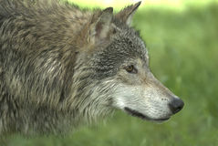 Wolf closeup Royalty Free Stock Images