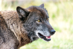 Wolf Closeup View Royalty Free Stock Images