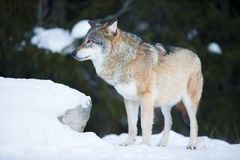 Wolf in the cold winter forest Stock Photos