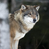 Wolf in the cold winter Royalty Free Stock Photo