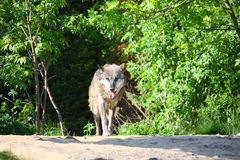Wolf. Coming out of a forest Stock Image