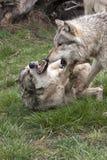 Wolf Confrontation Photo stock