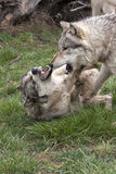 Wolf Confrontation. Grey wolves struggle for dominance Stock Photo