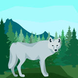 Wolf in the coniferous forest, animals and nature. Wolf on the hill in dense coniferous forest on the background of spruce, pine and mountain peaks, clear blue Stock Photos