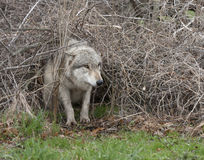 Wolf Crawling Through Underbrush Royalty Free Stock Photography