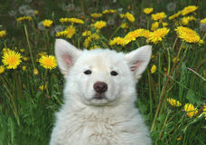 Wolf cross puppy. Arctic wolf/husky cross puppy Stock Images