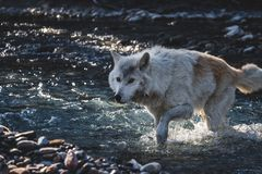 Wolf Crossing the Creek stock image