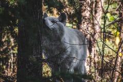 Wolf Crossing le loup de CreekCurious dans la forêt photographie stock