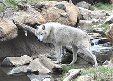 Wolf Crossing un courant de montagne images libres de droits
