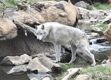 Wolf Crossing una torrente montano Immagini Stock Libere da Diritti