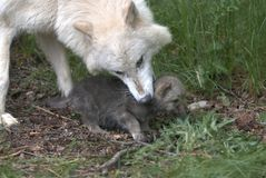 Wolf with cub. Wolf mother picking up her cub by scruff of the neck Stock Photography