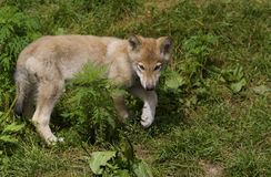 Wolf cub Stock Images