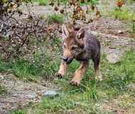 Wolf cub Stock Photography