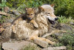 Wolf Cub And Mother Royalty Free Stock Photography