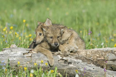 Wolf cubs. Photographed near their den in Montana Stock Images