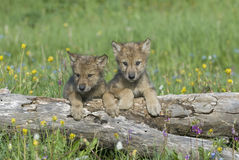 Wolf cubs Stock Images