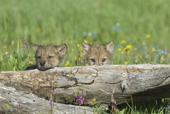 Wolf cubs Stock Photography