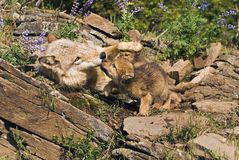 Wolf Cubs And Mother Stock Photos