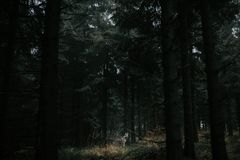 Wolf in dark forest. Wolf in dark spurce forest. Polish mountains Sudety. High trees Stock Image