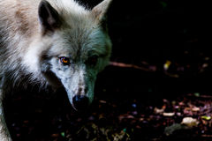 Wolf in the dark. Wolf in a forrest looking out off the shades Stock Image