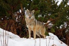 Wolf in de sneeuw Stock Foto