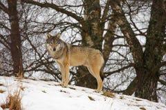 Wolf in de sneeuw royalty-vrije stock afbeelding