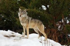 Wolf in de sneeuw Royalty-vrije Stock Foto