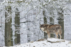Wolf in de winter royalty-vrije stock afbeelding