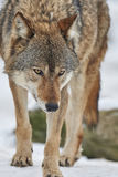 Wolf in de winter stock afbeelding