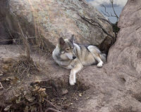 Wolf in Den. Wolf resting in it's den stock images