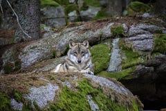Wolf, der auf dem Felsen stillsteht stockbild