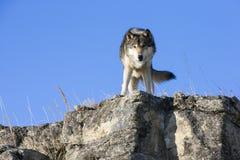 Wolf, der auf felsiger Leiste steht Stockfotos