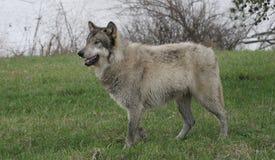 Wolf, der auf grünem Gras steht Stockbilder