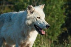 Wolf an der Aufmerksamkeit Lizenzfreies Stockfoto