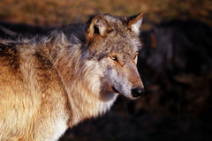 Wolf, der den Wind gegenüberstellt Stockfotografie
