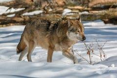 Wolf, der in den Winterwald geht Lizenzfreies Stockfoto