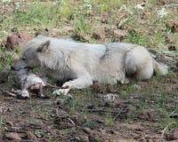 Wolf, der ein Kaninchen essend legt stockfotografie