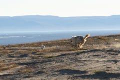 Wolf, der Hasen jagt Stockfotos