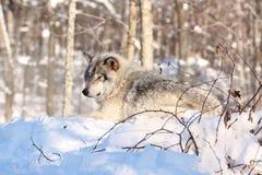 Wolf, der im Schnee stillsteht Stockbild