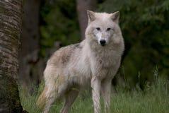 Wolf, der im Wald steht Lizenzfreie Stockfotos
