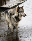 Wolf, der im Wasser steht Stockfotografie