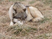Schlafenwolf Lizenzfreie Stockbilder