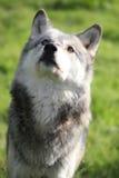 Wolf, der oben Porträt schaut Stockfoto
