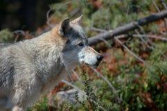 Wolf, der rechts schaut Stockbild