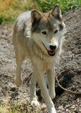 Wolf, der in Richtung zum Projektor läuft Lizenzfreie Stockfotografie