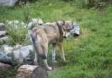 Wolf, der sich dreht, um etwas zu betrachten Lizenzfreie Stockfotos