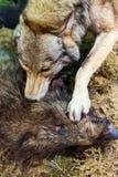 Wolf, der wilden Eber tötet Lizenzfreie Stockfotografie