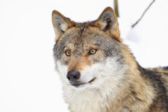 Wolf detail Royalty Free Stock Image