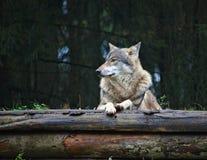Wolf die bovenop twee rottende logboeken rusten royalty-vrije stock afbeeldingen