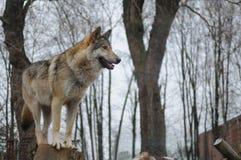 Wolf die de afstand onderzoekt Royalty-vrije Stock Afbeelding